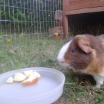 Can Guinea Pigs Eat Apples?