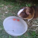 Can Guinea Pigs Eat Red Peppers?