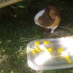 Can Guinea Pigs Eat Yellow Peppers?