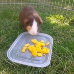 Can Guinea Pigs Eat Mango?