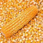Can Guinea Pigs Eat Dry Corn / Ear of Corn?
