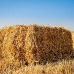 Can Guinea Pigs Eat Farm Hay?