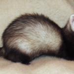 Can Guinea Pigs Eat Ferret Food?
