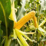 Can Guinea Pigs Eat Field Corn?