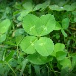 Can Guinea Pigs Eat Four Leaved Clovers?