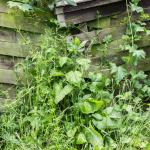 Can Guinea Pigs Eat Garden Weeds?