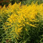 Can Guinea Pigs Eat Goldenrod?