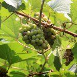 Can Guinea Pigs Eat Grape Vines?