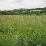 A Brief Guide To Meadow Hay For Guinea Pigs