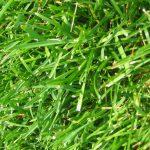 Can Guinea Pigs Eat Fertilised Grass?