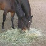 Can Guinea Pigs Eat Horse Hay?