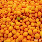 Can Guinea Pigs Eat Kumquats?