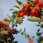 Can Guinea Pigs Eat Goji Berries?