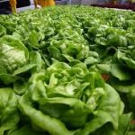 Can Guinea Pigs Eat Butterhead Lettuce?