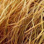 Can Guinea Pigs Eat Dead Grass?